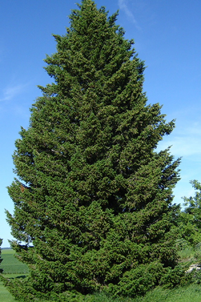 Пихта Дугласия (зеленая)