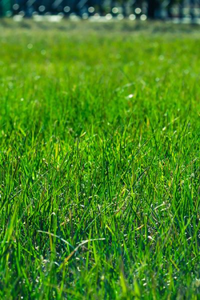 Газонная трава 'VITA'