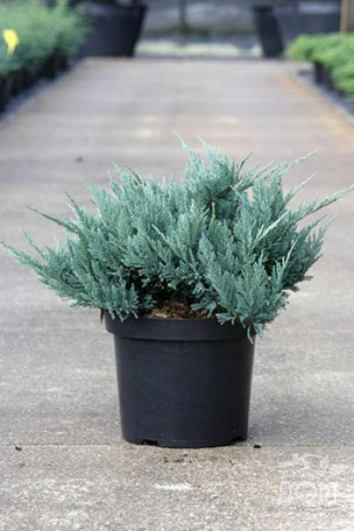 Можжевельник горизонтальный Juniperus hor «Blue Chip»