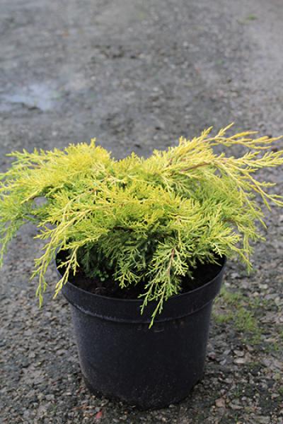 Можжевельник средний Juniperus pfitzeriana King of Spring