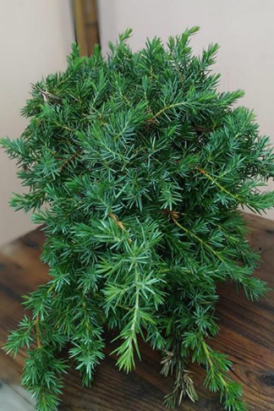Можжевельник прибрежный juniperus conferta «Blue pacific»