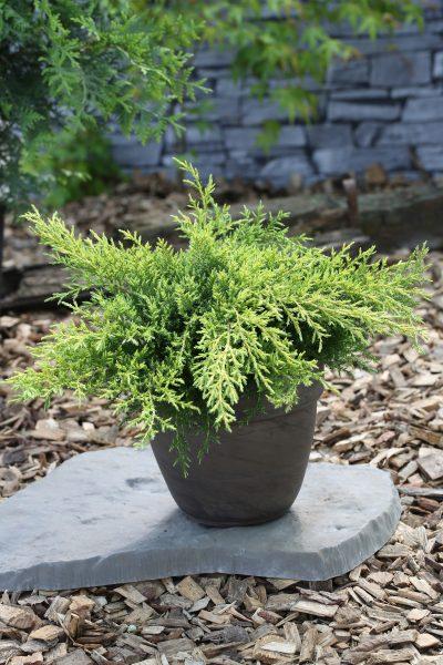 Можжевельник Голдкиссен — Juniperus Pf. Goldkissen