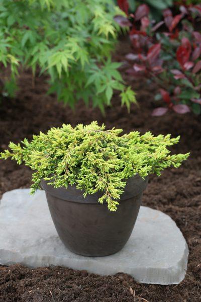 Можжевельник обыкновенный «Goldschatz» (Juniperus communis Goldschatz)
