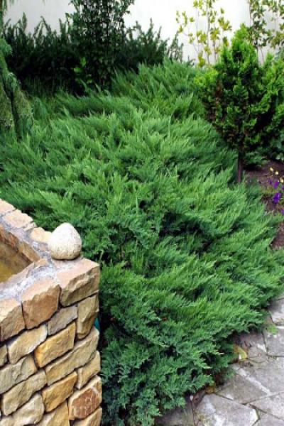 Можжевельник казацкий «Tamariscifolia» (Juniperus Sabina 'Tamariscifolia')