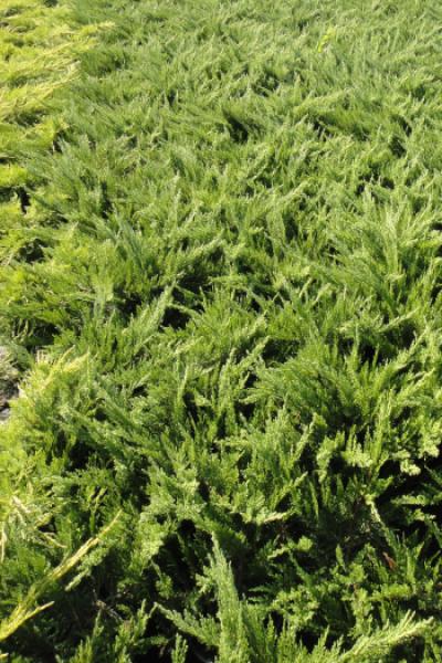Можжевельник казацкий Juniperus sabina 'Tam No Blight'