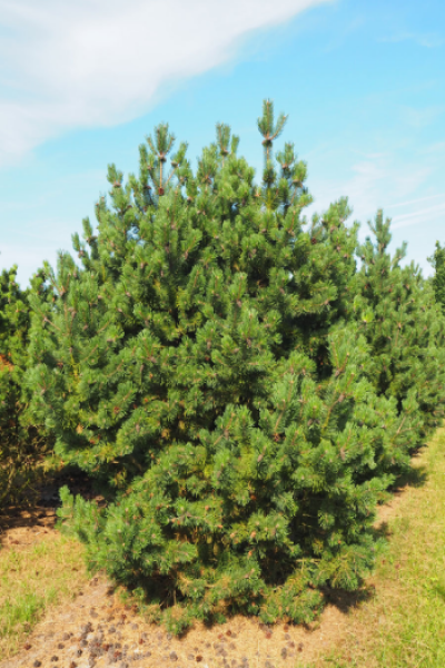 "Сосна горная ""Gnom"" (Pinus mugo ""Gnom"")"