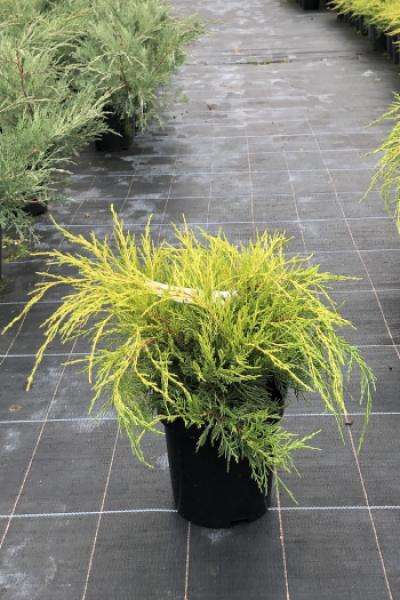 Можжевельник средний (Juniperus pfitzeriana «Old Gold»)