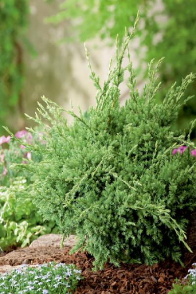Можжевельник чешуйчатый Холгер Juniperus squamata Holger