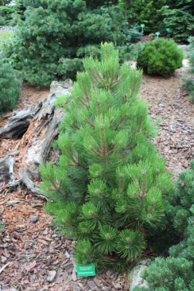 "Сосна белокорая (Pinus heldreichii ""Satellit"")"