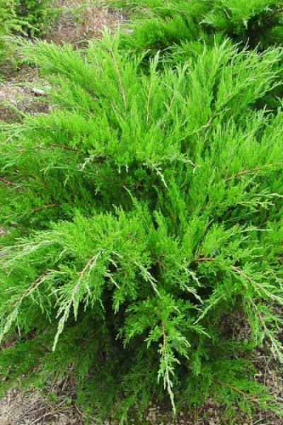 "Можжевельник средний ""Mint Julep"" (Juniperus ptizeriana)"