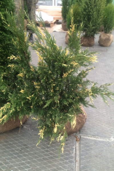 Можжевельник «Expansa Variegata» (Juniperus sabina)
