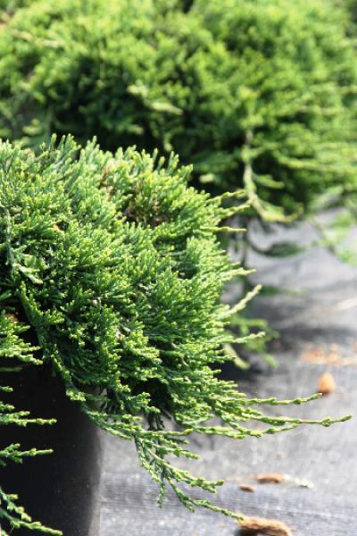"""Можжевельник горизонтальный """"Agnieszka"""" Juniperus horizontalis """"Agnieszka"""""""