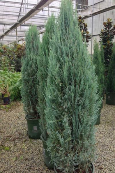 """Можжевельник скальный """"Blue Arrow"""" (Juniperus scopulorum """"Black Arrow"""")"""