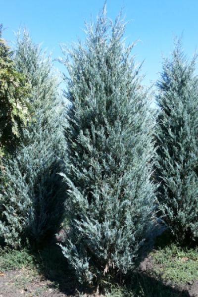 Можжевельник скальный MOONGLOW – Juniperus scopulorum Moonglow