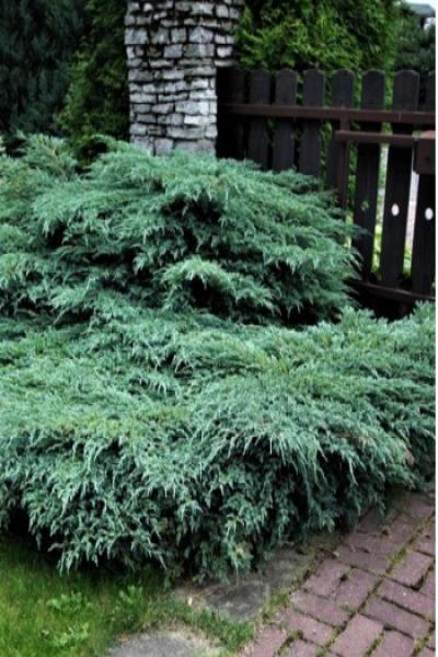 Можжевельник чешуйчатый «Blue Carpet» (Juniperus squamata «Blue Carpet»)
