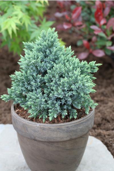 Можжевельник чешуйчатый «Blue Star» (Juniperus squamata «Blue Star»)