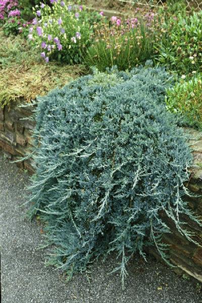 Можжевельник горизонтальный Juniperus hor. ICEE BLUE