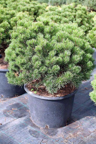 "Сосна горная ""Mops"" (Pinus mugo ""Mops"")"